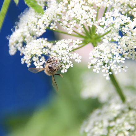 Bee hang around, Canon EOS 600D, Tamron 18-250mm f/3.5-6.3 Di II LD Aspherical [IF] Macro