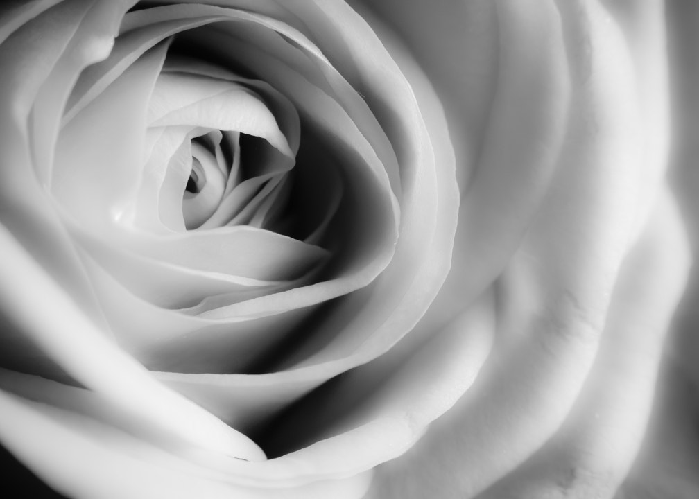 Photograph Soft rose by Anders Winterstad on 500px