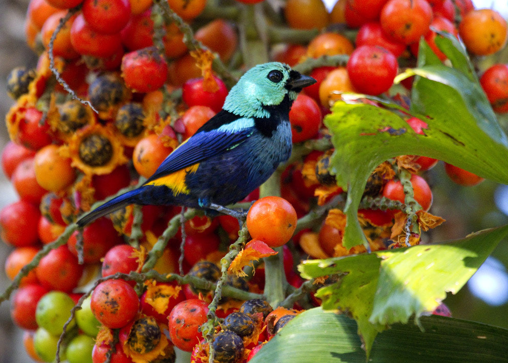 Photograph Seven-colored Tanager (Tangara fastuosa) by Carlos Grupilo on 500px