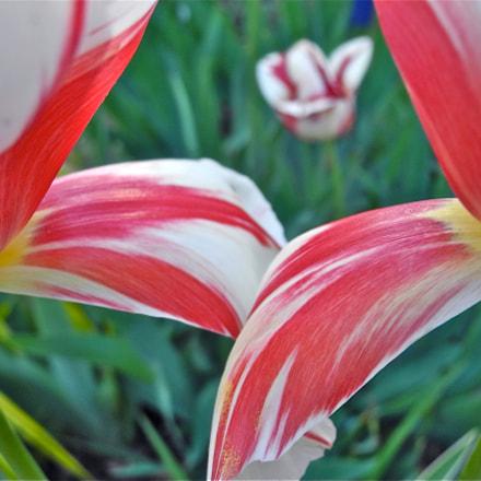 The Third Tulip, Nikon COOLPIX P7100