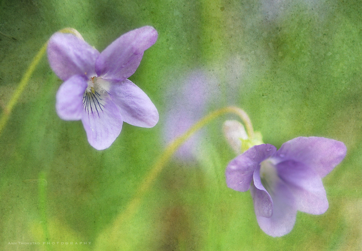 Photograph Wild Violets by Ann Thomstad on 500px