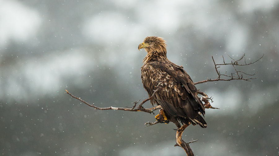 Photograph White-Tailed Eagle - Enjoys the view by André Boss on 500px