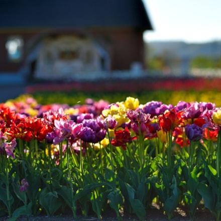 Tulip Fair, Nikon D4S, AF-S Nikkor 85mm f/1.8G