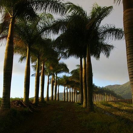Chamarel Palm Trees, Pentax *IST DL2, smc PENTAX-DA 18-55mm F3.5-5.6 AL