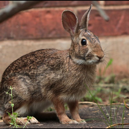 Cottontail Rabbit, Canon EOS 80D, Canon EF70-300mm f/4-5.6 IS II USM