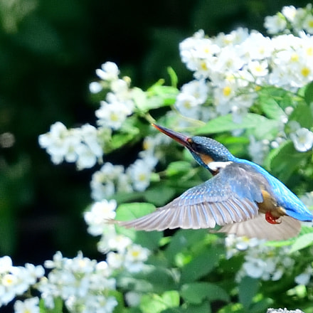 Kingfisher with flower, Nikon D850