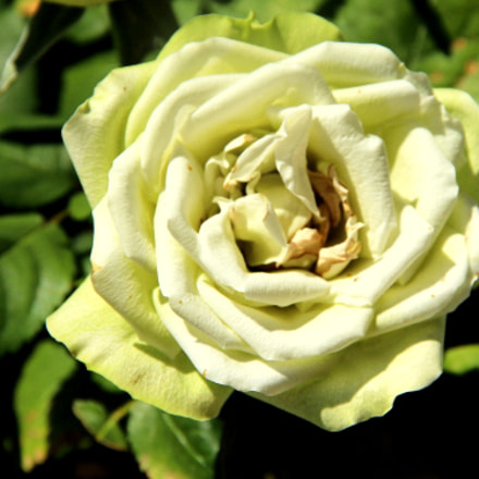 The dried up rose..., Canon EOS 700D
