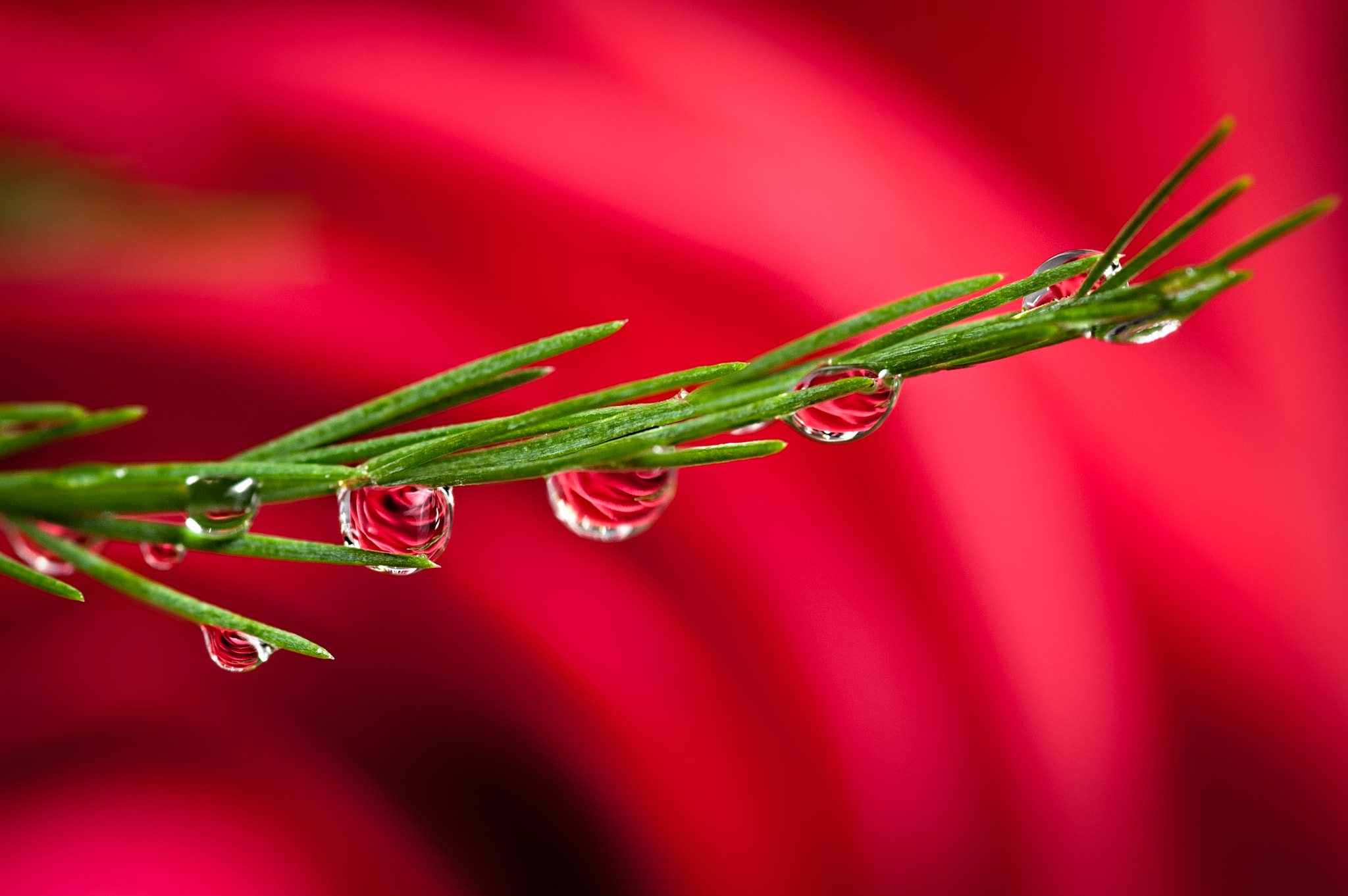 Photograph Rose Refraction by Karsten May on 500px