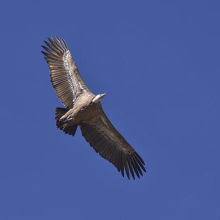 Griffon Vulture flying, Nikon D500, AF Zoom-Nikkor 80-200mm f/2.8D ED