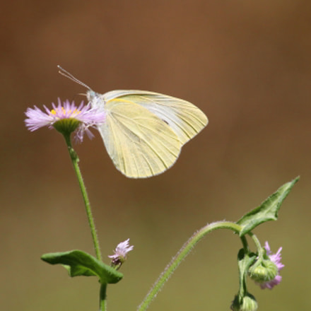 Cabbage white butterfly, Canon EOS KISS X7, Canon EF-S 55-250mm f/4-5.6 IS II
