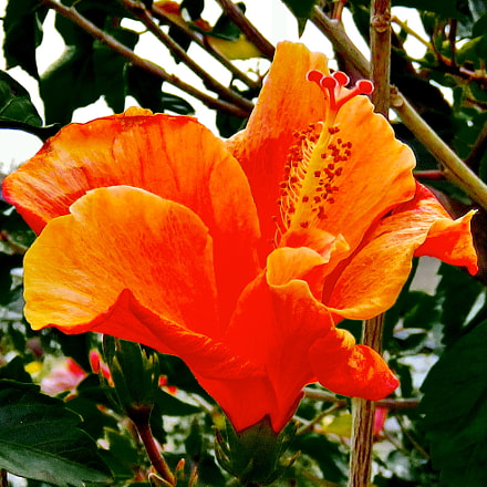 A Gold Hibiscus Flower, Canon POWERSHOT SX60 HS, 3.8 - 247.0 mm