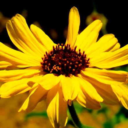 A Gold Daisy Flower, Canon POWERSHOT SX50 HS, 4.3 - 215.0 mm