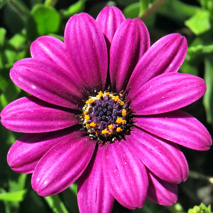 A Purple Daisy Flower, Canon POWERSHOT SX50 HS, 4.3 - 215.0 mm