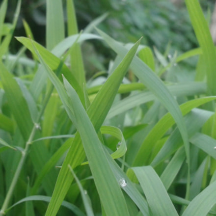 Green grasses, Samsung Galaxy S3 Mini