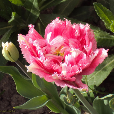 Tulip, Sony DSC-W190