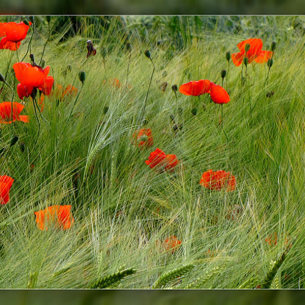 coquelicots, Canon POWERSHOT SX10 IS