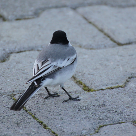Too early (White wagtail), Canon EOS KISS X3, Tamron SP 35mm f/1.8 Di VC USD + 2x