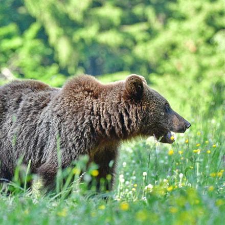 Brown bear, Nikon D500