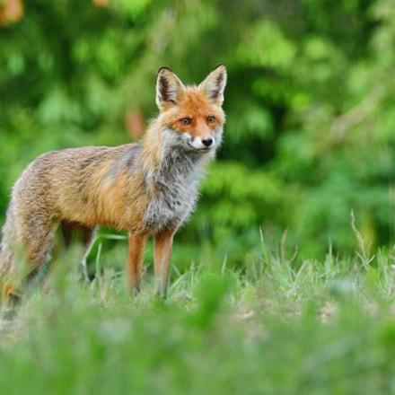 fox, Nikon D500