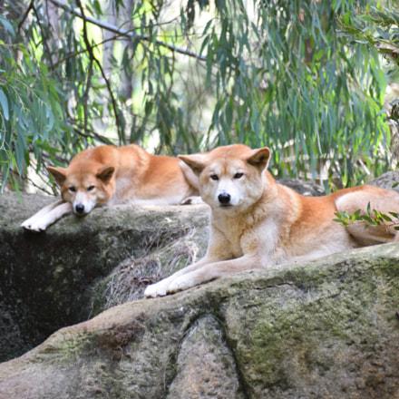 Dingo, Nikon D810