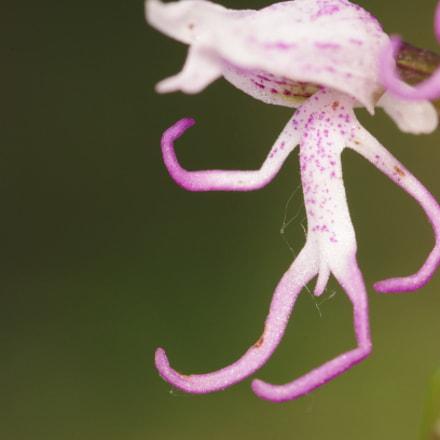 monkey orchid, Pentax K-5, smc PENTAX-D FA Macro 100mm F2.8 WR