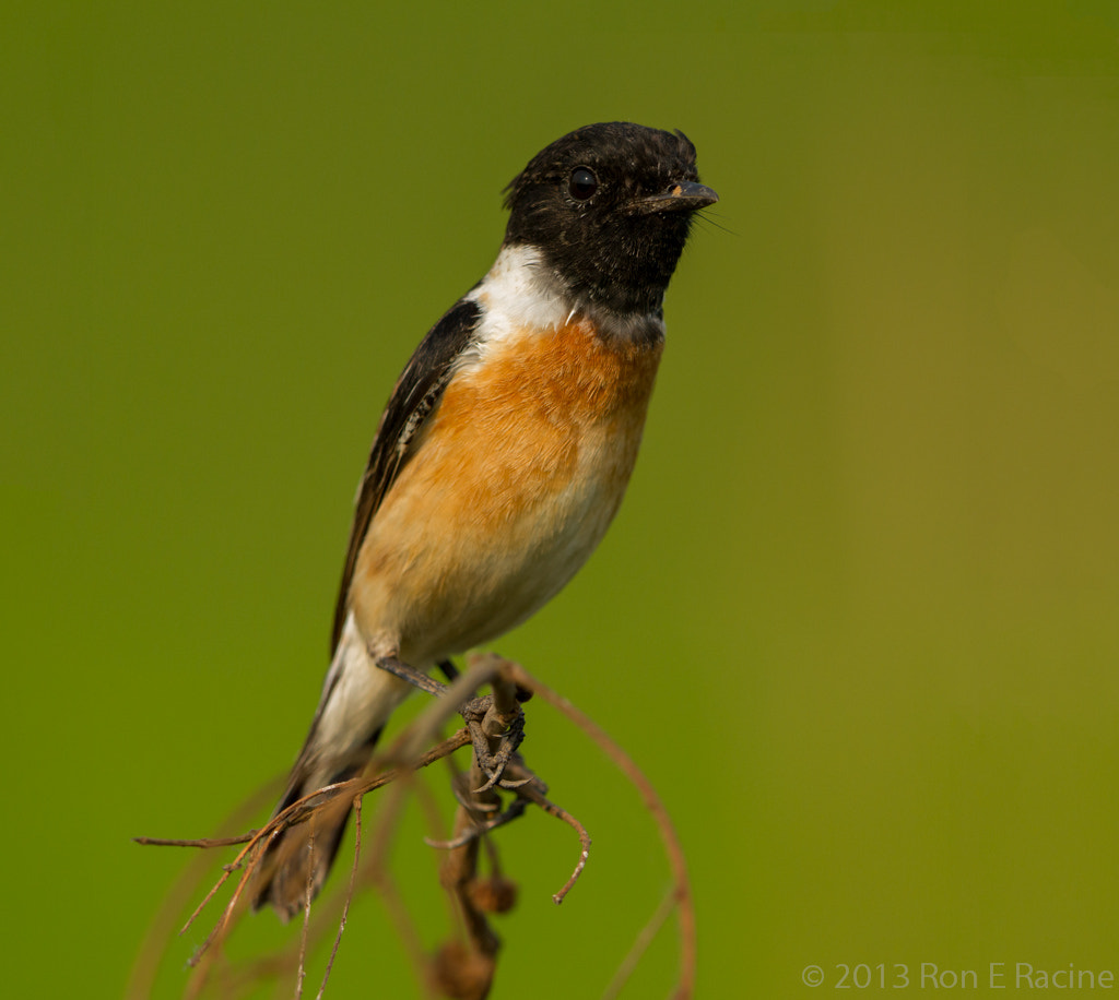 Photograph Siberian Stonechat by Ron E Racine on 500px