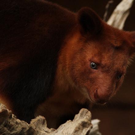 Tree Kangaroo, Canon EOS 60D, Canon EF 300mm f/4L IS