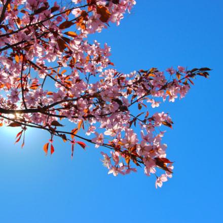 Cherry blossom in Turku, Canon EOS 600D, Canon EF-S 10-22mm f/3.5-4.5 USM