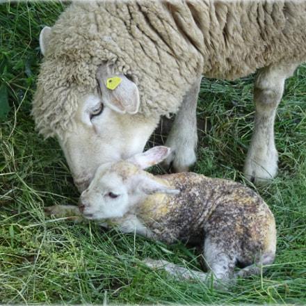 """""""new lamb"""", Sony DSC-HX80"""