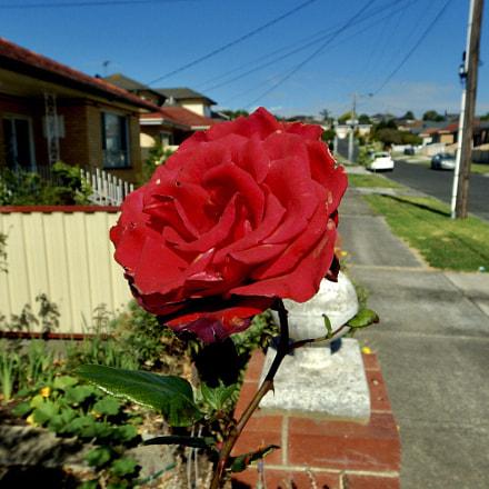 Red rose. , Nikon COOLPIX AW130