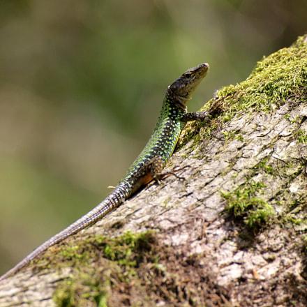 Rock Lizard, Canon EOS KISS X3, Tamron SP 35mm f/1.8 Di VC USD + 2x