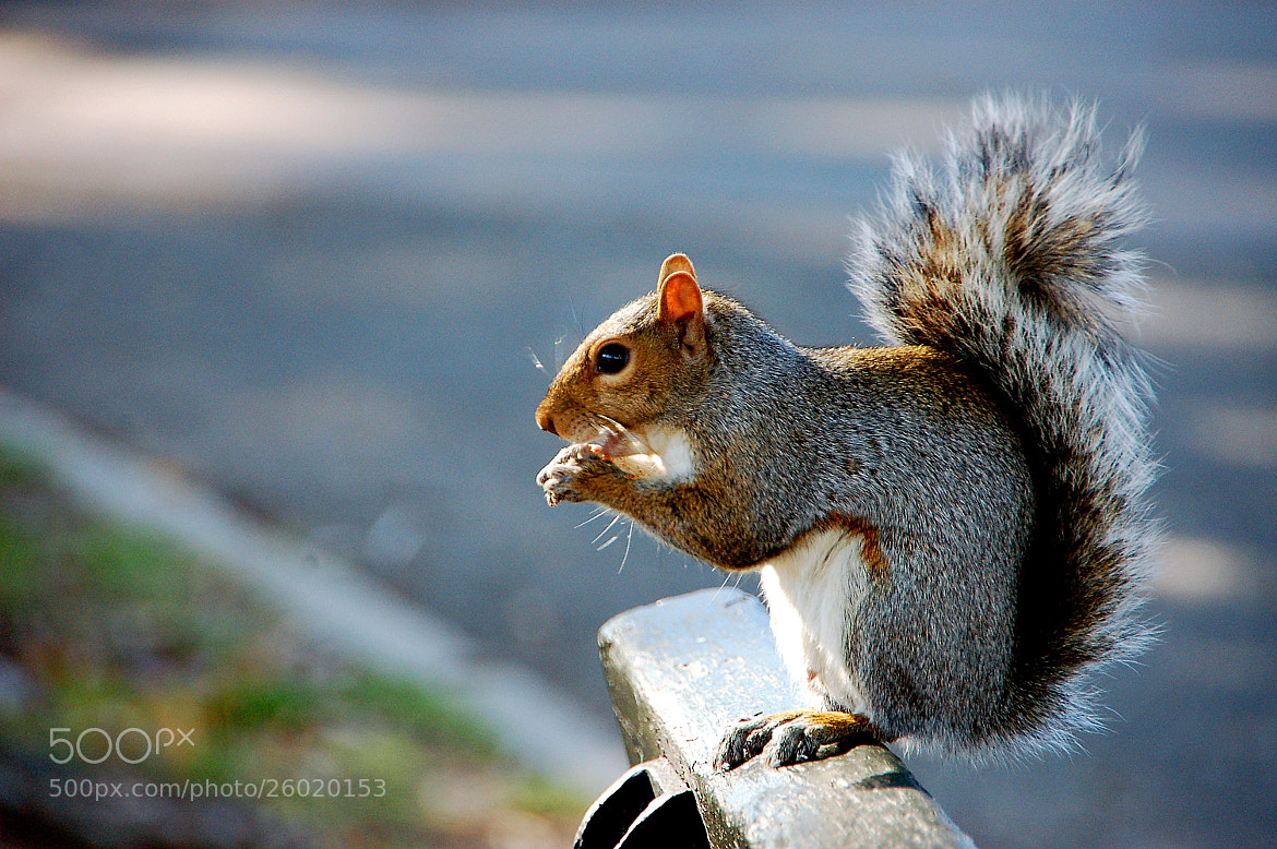 Photograph Squirrel by Beata  Obrzut on 500px