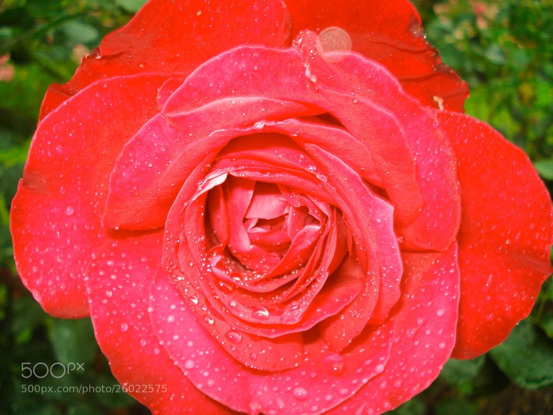 Photograph Wet Rose by Saranyan Ravinthirakumaran on 500px