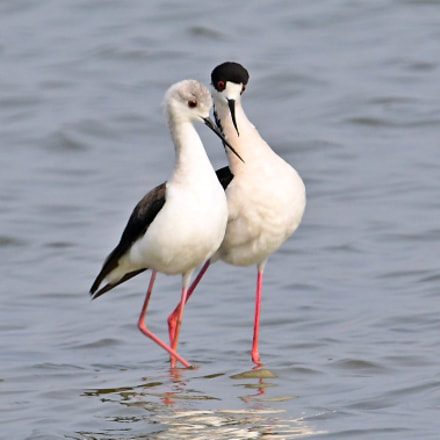 Black Winged Stilt, Nikon D500, AF-S VR Nikkor 600mm f/4G ED