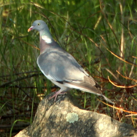 The pigeon on the, Canon EOS 700D, Canon EF 70-300mm f/4.5-5.6 DO IS USM