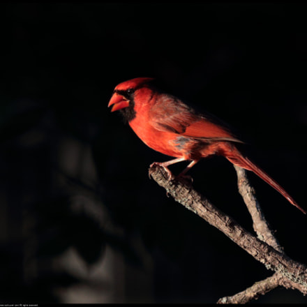 Northern Cardinal, Canon EOS 80D, Canon EF70-300mm f/4-5.6 IS II USM