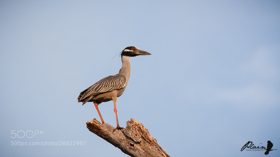 Photograph Yellow-Crowned Night Heron by Greg Hull on 500px