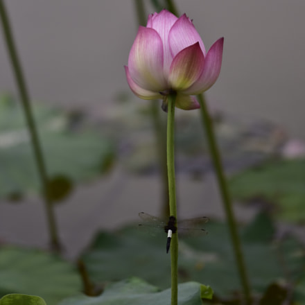 Dragonfly and lotus 蜻蜓与荷, Nikon D810, AF-S Nikkor 300mm f/4D IF-ED