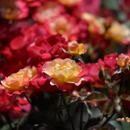 Colorful Rose, Nikon D610, AF Zoom-Nikkor 80-200mm f/2.8D ED