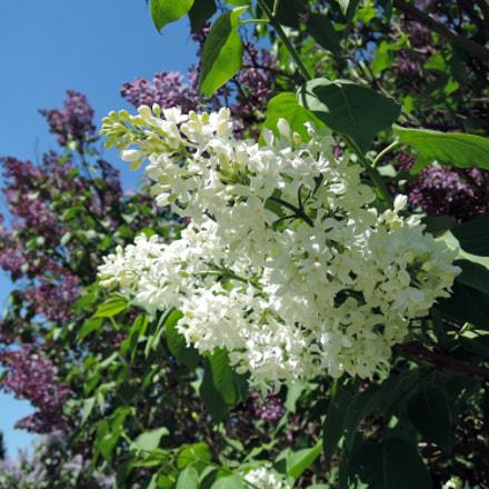 White Lilac, Nikon COOLPIX P340