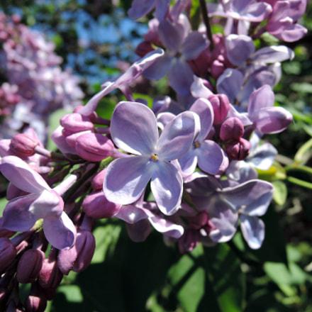 Lilac, Nikon COOLPIX P340