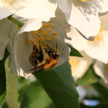 Bumblebee eating, Canon EOS 5D MARK II, Sigma 105mm f/2.8 EX DG OS HSM Macro