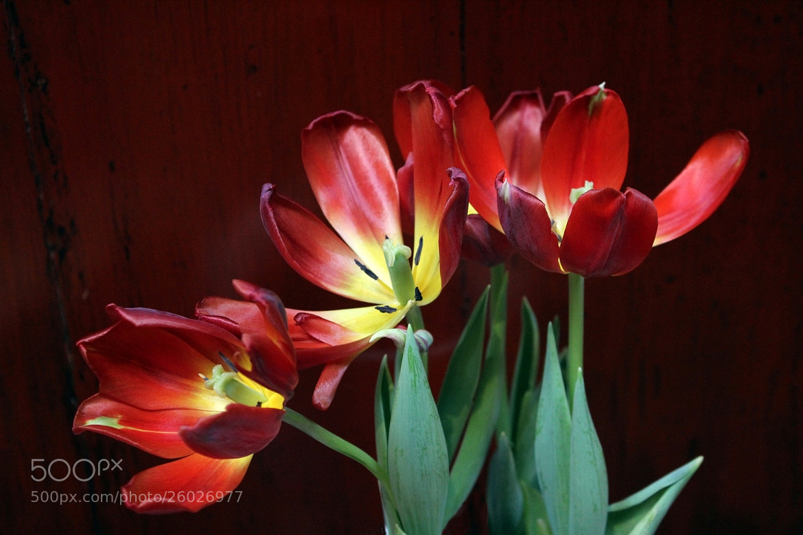 Photograph Tulips & Chinese Cabinet by Vince Lane on 500px