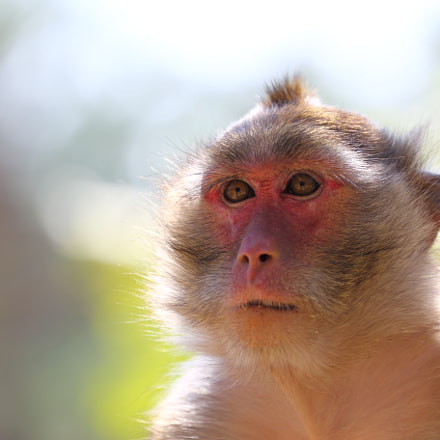 Macaque portrait, Canon EOS 6D, Canon EF 70-300mm f/4-5.6L IS USM