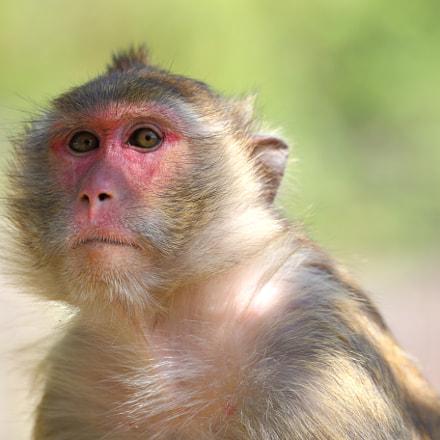 Macaque portrait #2, Canon EOS 6D, Canon EF 70-300mm f/4-5.6L IS USM
