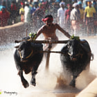 Kambala – The Buffalo Race