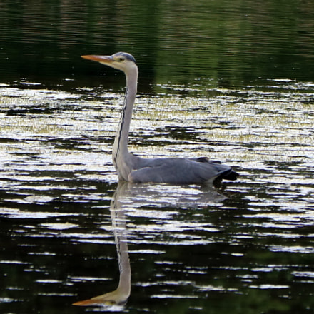 heron, Canon EOS 750D, Canon EF70-300mm f/4-5.6 IS II USM