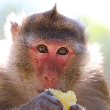 Macaque with stolen food, Canon EOS 6D, Canon EF 70-300mm f/4-5.6L IS USM