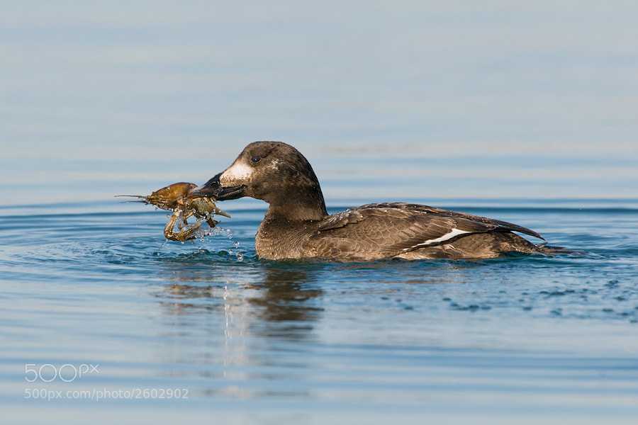 Photograph White-winged Scoter by Joe Iocco on 500px