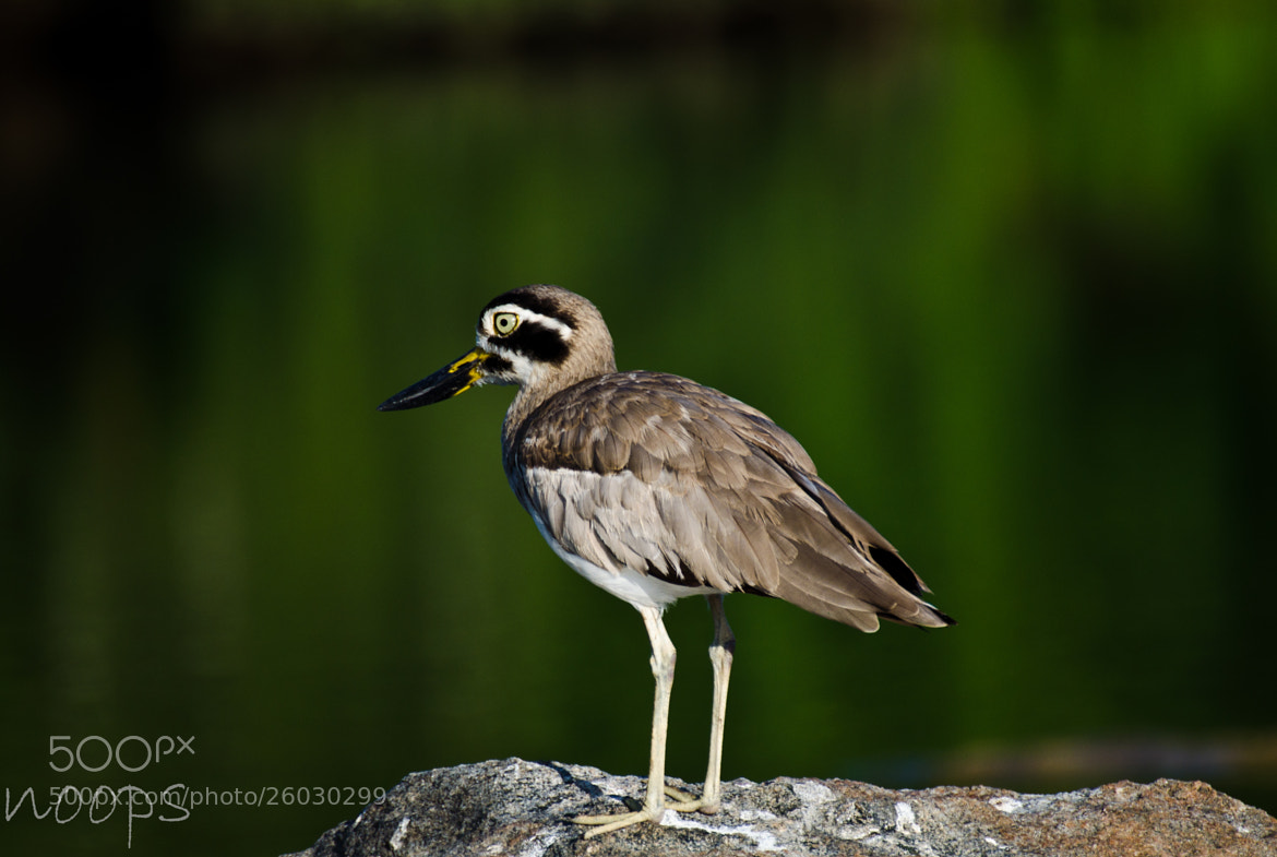 Photograph The Great Stone Plover by Noopuran Sivaguru on 500px